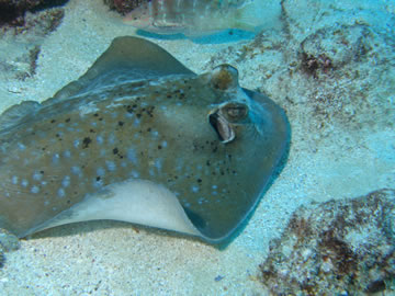 Spotted Ray